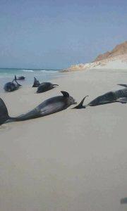 الاحتلال الإماراتي يتسبب بنفوق الالاف من الاسماك الكبيرة والصغيرة في شواطئ جزيزة سقطرى.