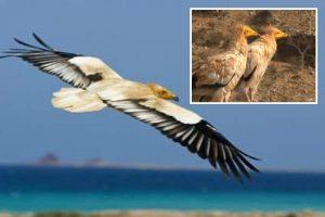 طير سوعيدة من أحدى الطيور السقطرية النادرة التي تم سرقتها من قبل الاحتلال الاماراتي